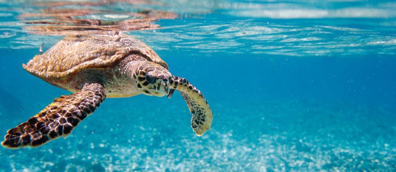 Variety Cruises Seychellerna Havssköldpadda
