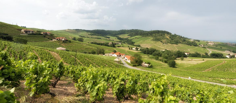 En typisk vingård i Beaujolais