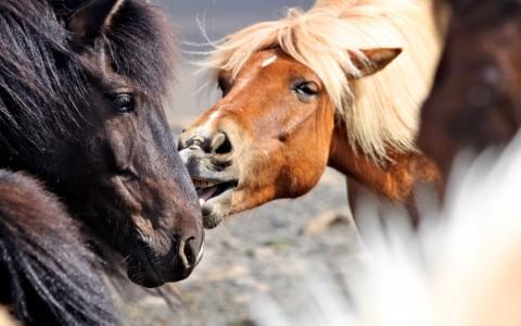 Islandshästar på Island