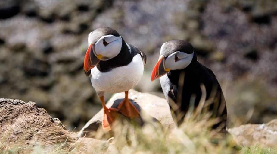 Skåda lunnefåglar vid Latrabjarg, Islands mest västra udde och Europas största fågelklippa.