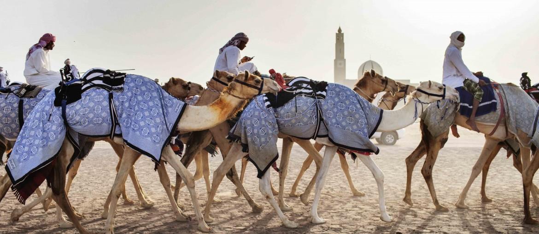 Kameler på väg, Dubai, Förenade Arabemiraten