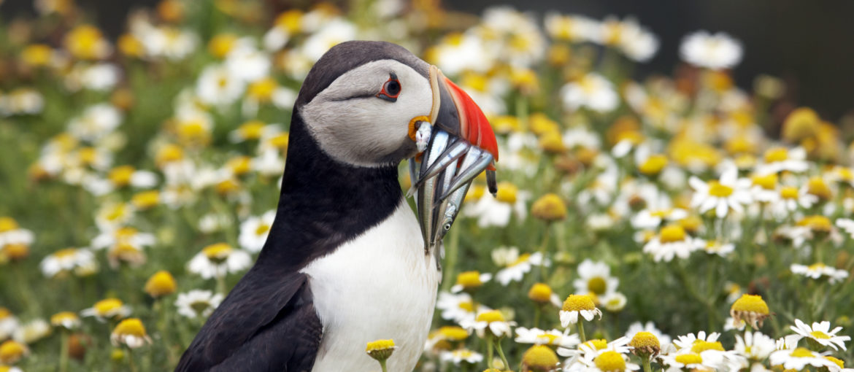 Lunnefågel Island