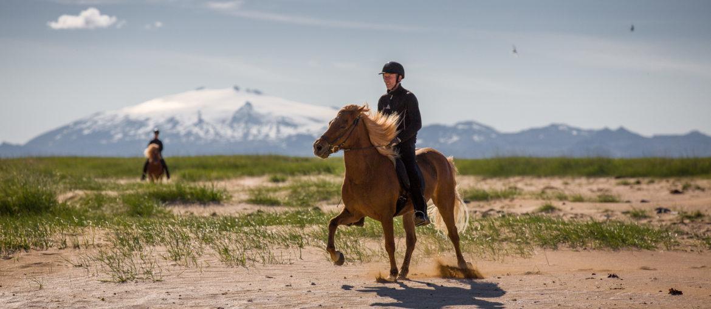 Islandshäst vid Snaefellsnes på västra Island