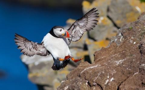 Lunnefågel på Latrabjarg - Europas största fågelklippa