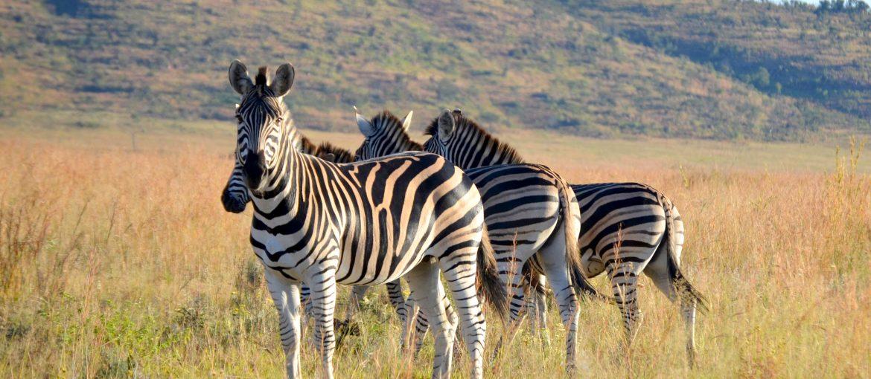 Zebror i Sydafrika