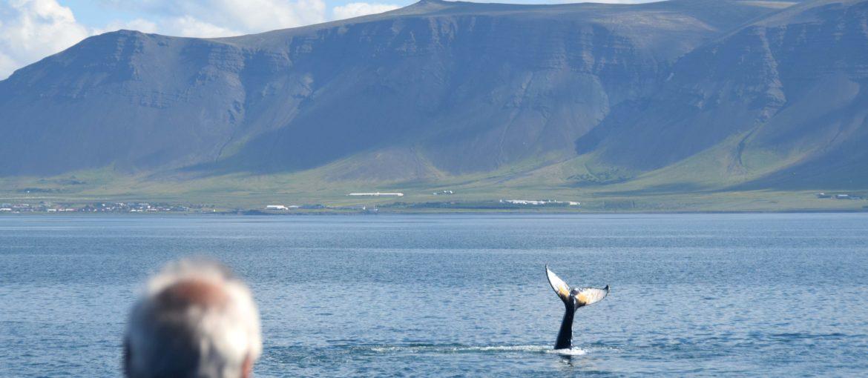 Knölval på valsafari från Reykjavik, Island